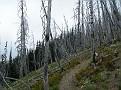 Lots of dead trees
