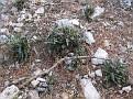 Ceterach officinarum  Asplenium ceterach (2)