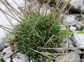 Dianthus serratifolius (3)