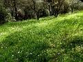 Allium neapolitanum (3)