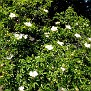 Rosa micrantha subsp  chionistrae (9)