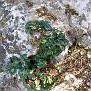 cyclamen graecum (24)