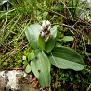 Orchis Lactea, Όρος Αιγάλεω (1)