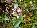 Orchis Lactea, Όρος Αιγάλεω (4)