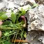 Aristolochia microstoma (9)