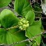 Arisarum vulgare (2)