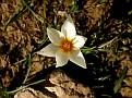 Crocus biflorus subsp  melantherus (9)