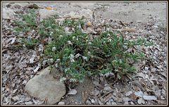 Heliotropium curassavicum (1)