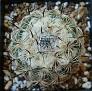 Coryphantha pallida
