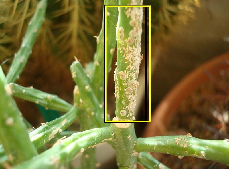 Κοκκοειδή -Τα κοκκοειδή απομυζούν τους χυμούς των φυτών και τα μαραίνουν  Επίσης εκκρίνουν ένα κολλώδες επίστρωμα που προσελκύει μυρμήγκιÃ