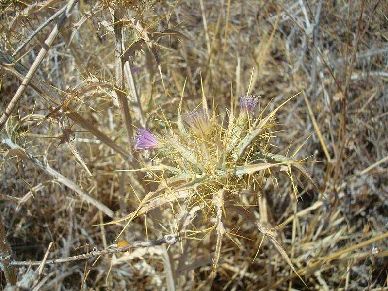 Picnomon acarna - Πίκνομο - Syn; Carduus acarna Cirsium acarna (3)