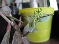 Monadenium montanum (13)