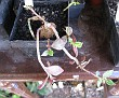 Monadenium montanum (6)