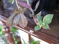 Monadenium montanum (9)