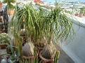 Beaucarnea recurvata