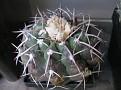 Discocactus heptacanthus (1)