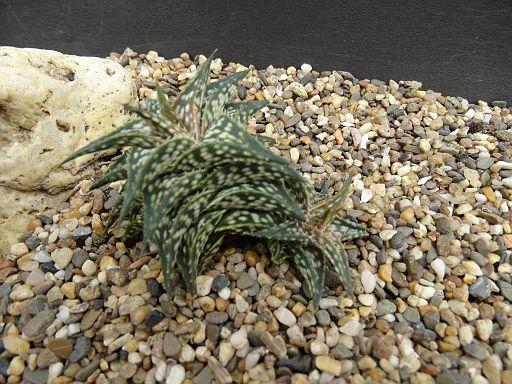 Aloe cipolinicola