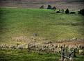 Droving sheep on Blink Bonny 002