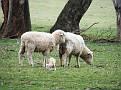 Newborn Lamb on Yarras Lane Bathurst 002