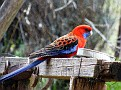 Crimson Rosella at Gordon's 250810 006