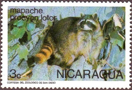 Nicaragua Racoon