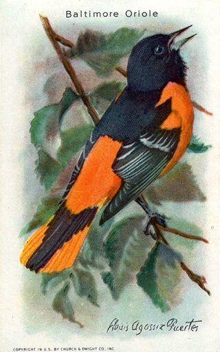 1938 Useful Birds of America Series 10 #08 (1)