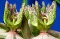 Stathmostelma gigantiflorum (17)