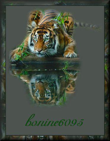 Tiger Reflectionbonine6095