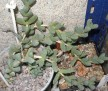 Corpuscularia sp.