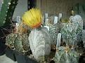 Astrophytum coahuilense ' Sankaku Hakuran '