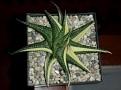 Haworthia limifolia variegata ex Japan