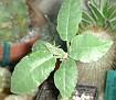 Dorstenia sp. Mecca