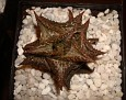 Haworthia venosa ssp. tesselata fa obesa
