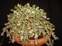 Euphorbia clivicola - ES1171