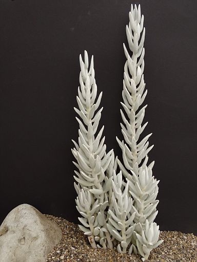 Kleinia haworthii 'Crass's variety'
