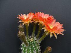 Echinopsis 'Jenny'