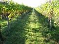 Grape Picking at Natali's Vineyard 10-21-09 (7)
