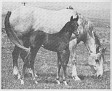 HA MARY (Habbub x Maraly, by Ramly) & her 1972 grey colt by Pico Bay Bee