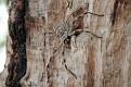 Huntsman Spider (large)