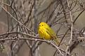 Yellow Warbler #10