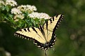 Female Eastern Tiger Swallowtail #27