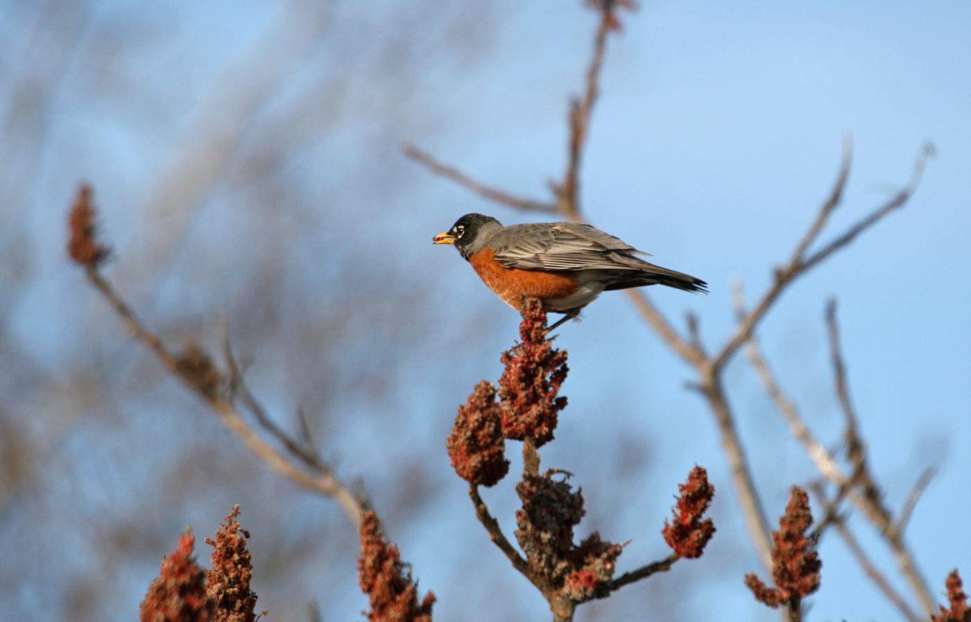 Spring Robin #9