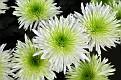 Chrysanthemum KF9