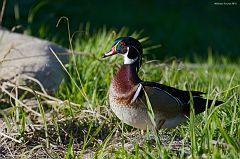 Male Wood Duck