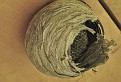 Осиное гнездо Vespiary DSC 4030 1