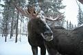 Vittangi Moose Park (20)