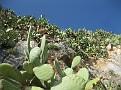 Opuntia (7)
