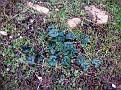 Cyclamen hederifolium (2)-001