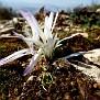 Colchicum atticum Merendera attica (3)