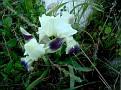 Iris attica - Ίριδα της Αττικής (5)